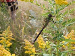 Green darner (dragonfly)