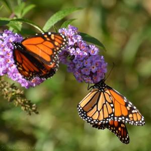 10-5 Monarchs-14-2
