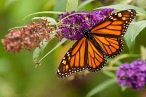 10-5 Monarchs-2