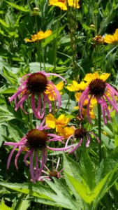 pale purple coneflower (2)