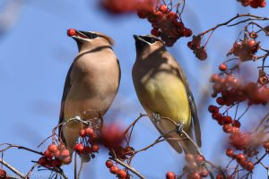 cedar waxwings with berry