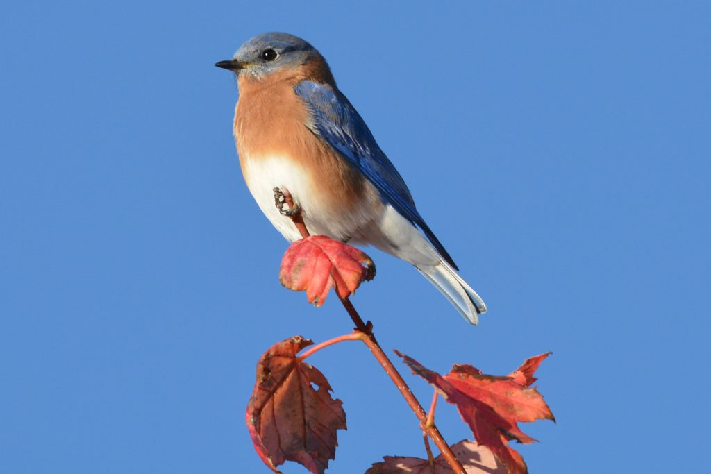 bluebird on campus