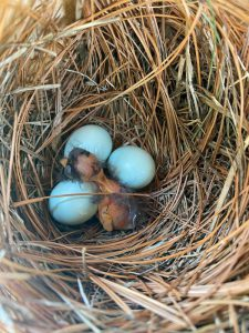 bluebird hatchling and eggs