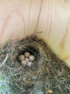 chickadee nest and eggs
