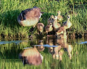 Duck and ducklings on bank of pond