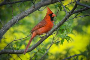 Cardinal perched on a tree branch