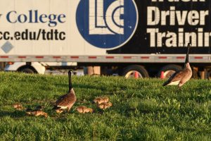 Geese at truck driver training lot