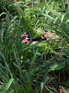 Pair of ducks in tall grass
